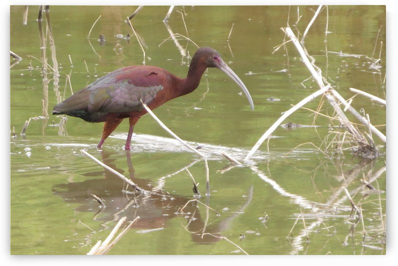 Glossy Ibis VP2 by Vicki Polin