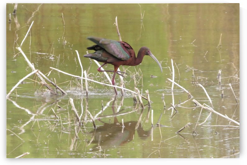 Glossy Ibis VP1 by Vicki Polin