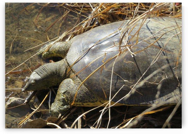 Tortoise at the Glenn VP2 by Vicki Polin