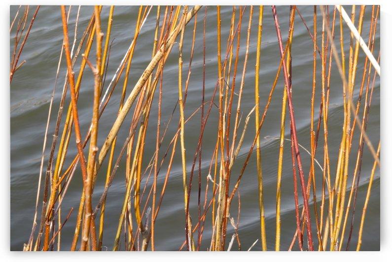 Yellow Reeds at the Glenn VP1 by Vicki Polin