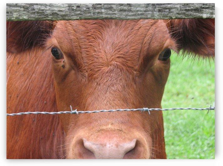 Cow in Stevenson, MD VP 2 by Vicki Polin