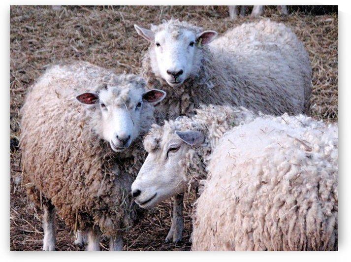 Sheep in the Winter VP2 by Vicki Polin