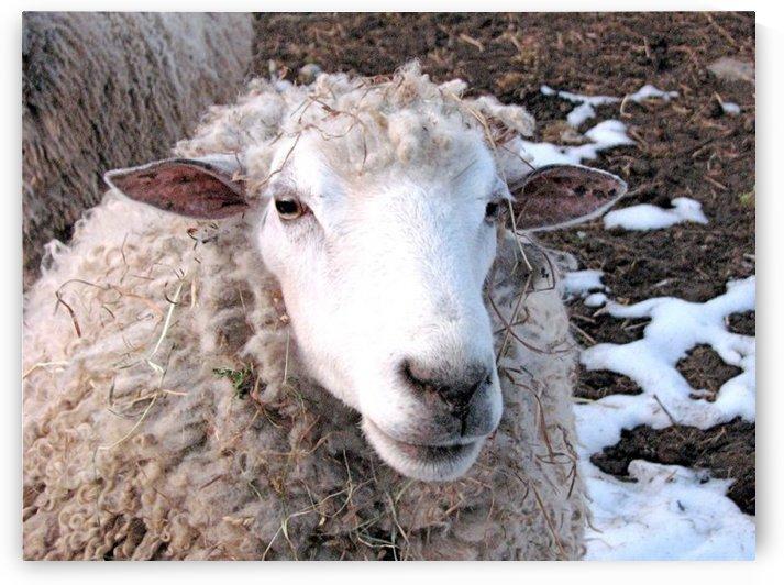 Lamb in the Winter VP1 by Vicki Polin