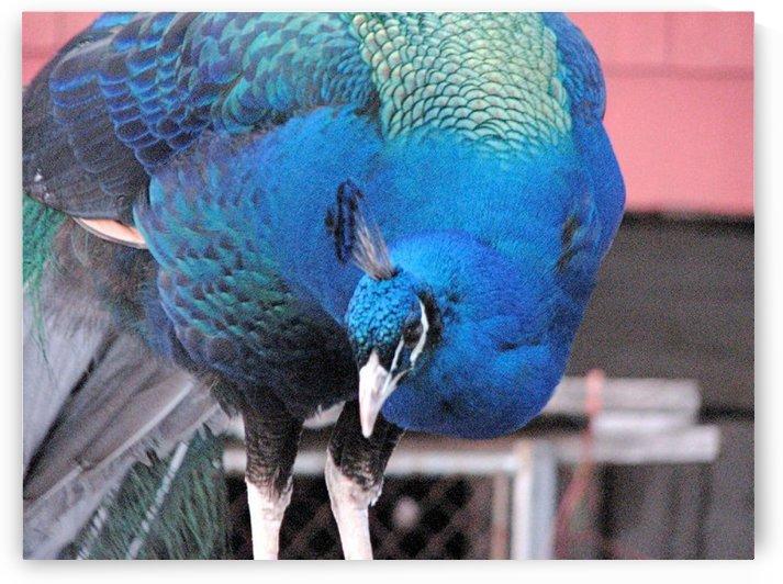 Peacock in Maryland VP1 by Vicki Polin
