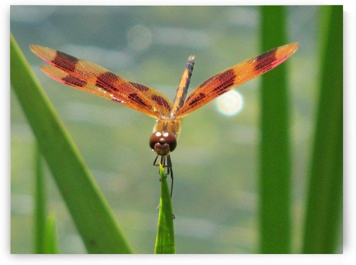 Dragonfly in Lincoln Park VP1 by Vicki Polin