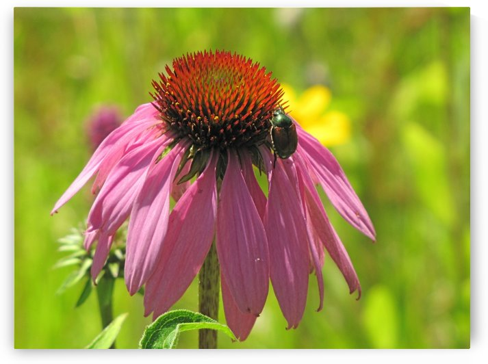 Echinacea in Lincoln Park VP5 by Vicki Polin