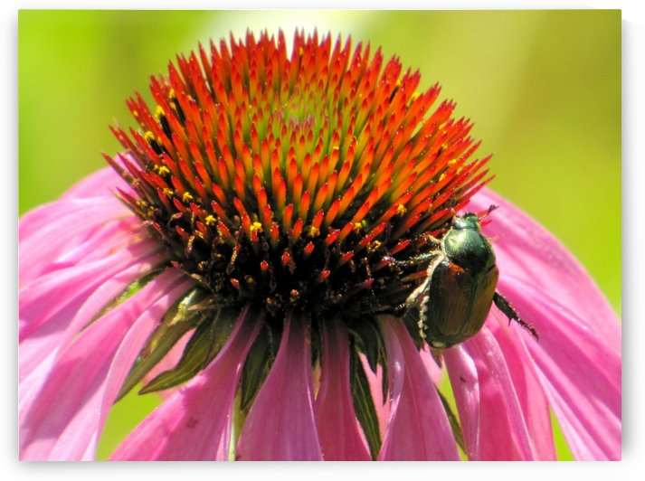 Echinacea and the Bee in Lincoln Park VP6 by Vicki Polin