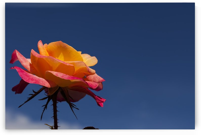 Pink and Orange Rose with Blue Sky by Maxwell Jordan