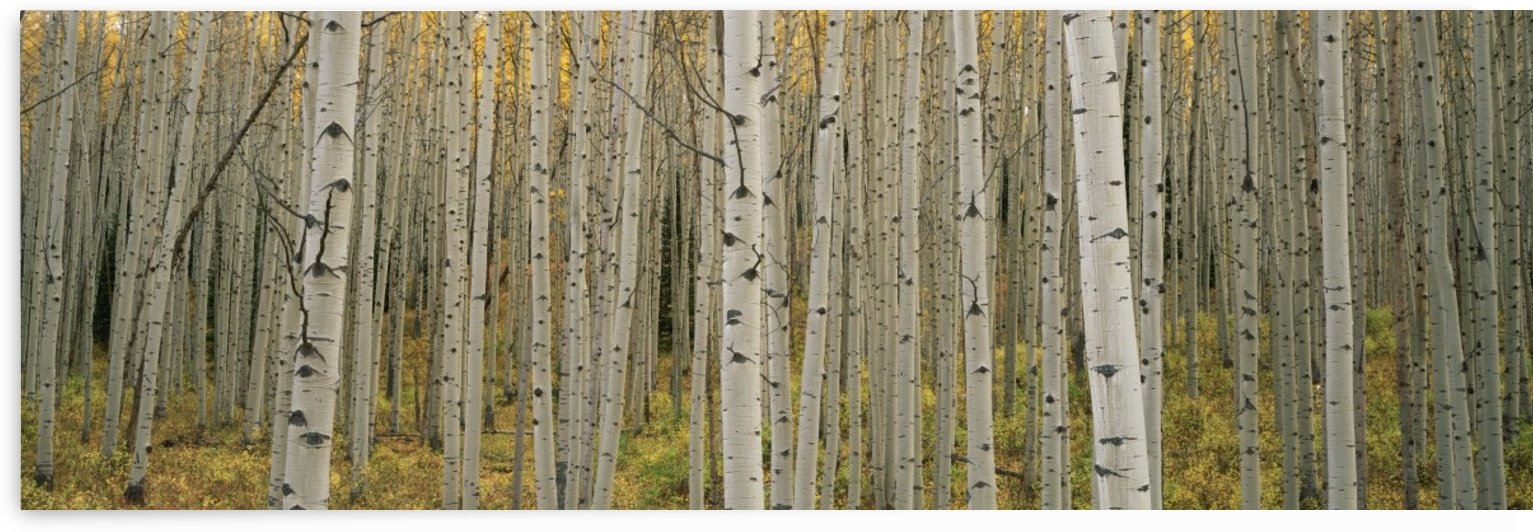 Aspen Grove by Printscapes