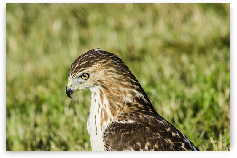 Juvenile Red Tail Hawk by MJB