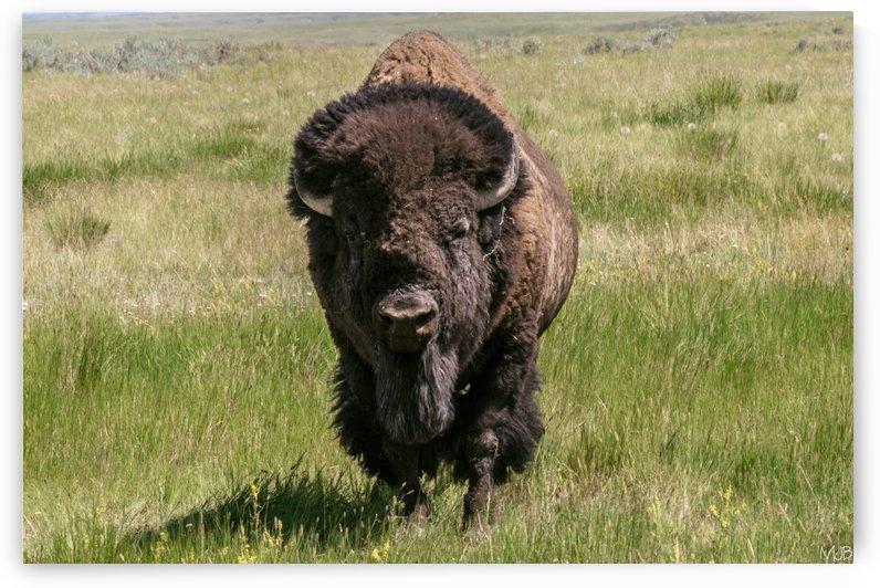Bison Grasslands National Park Sk by MJB