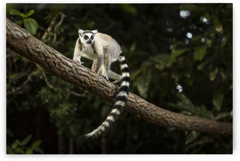 Lemur in his natural habitat, Madagascar by MIRICA DAN-ALEXANDRU