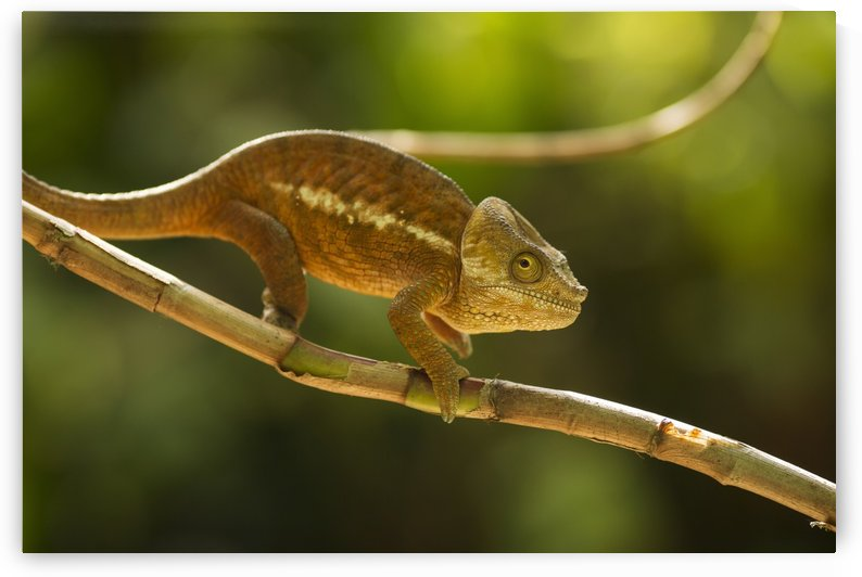 Chameleon in his natural habitat, Madagascar by MIRICA DAN-ALEXANDRU