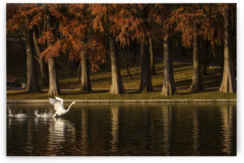 Swan flying over a lake in autumn season by MIRICA DAN-ALEXANDRU