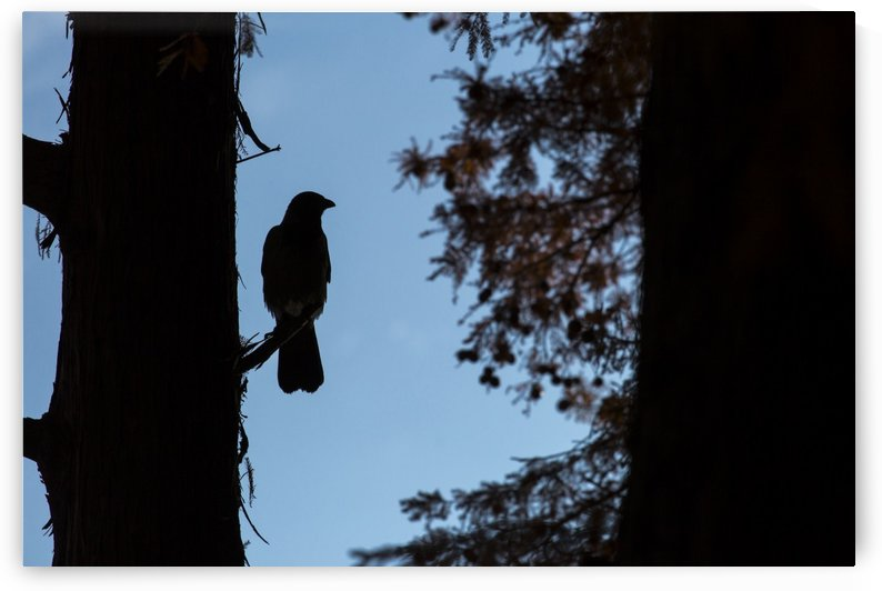 Crow in the forest by MIRICA DAN-ALEXANDRU