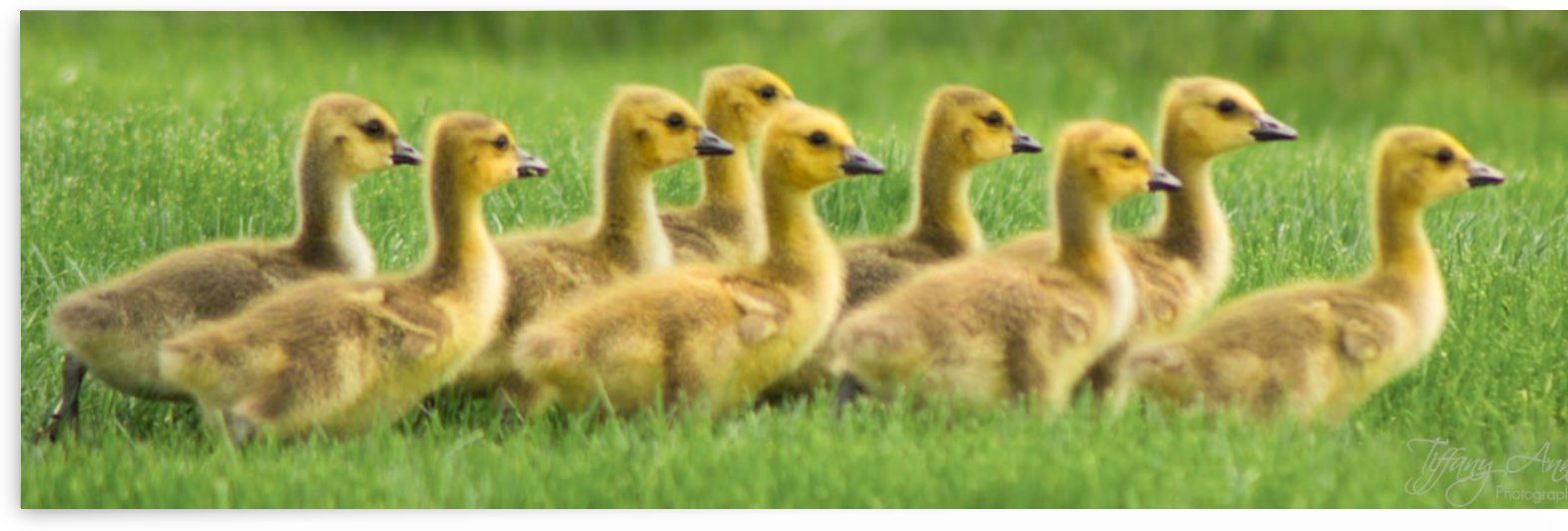 Get Your Geese in a Row by Tiffany Ross