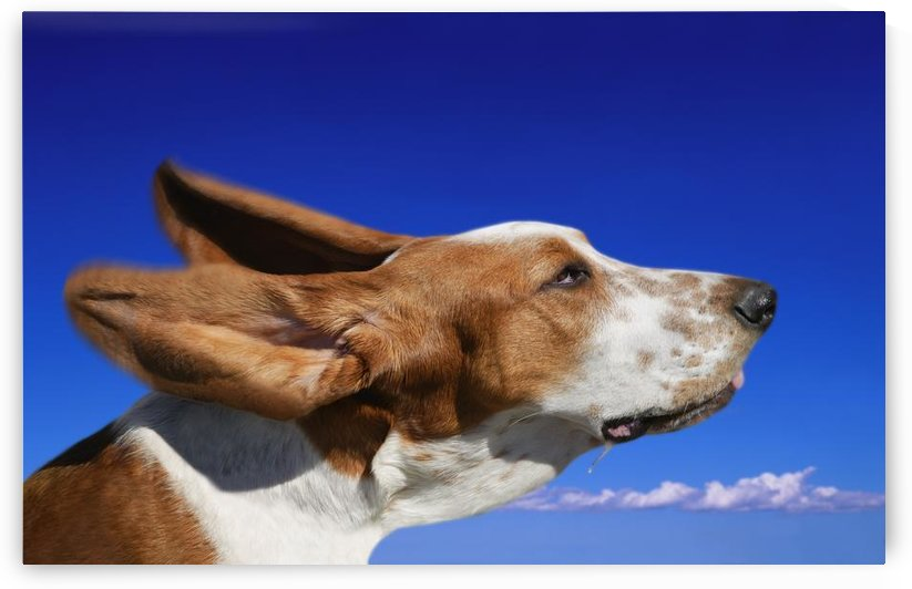 Dog With Ears In The Wind by PacificStock