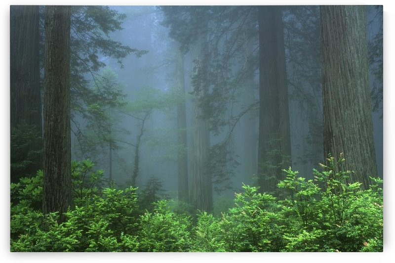 Early Morning In The Forest, Humboldt, California, Usa by PacificStock