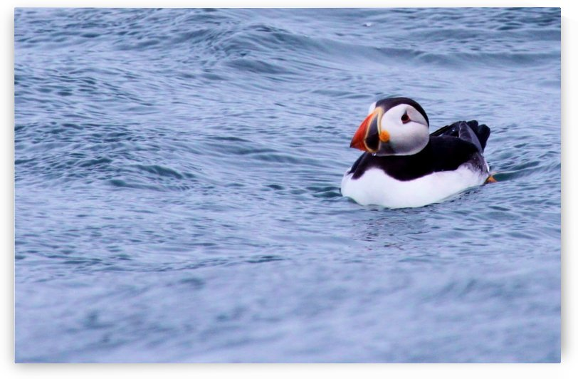 Puffin by Andy Jamieson