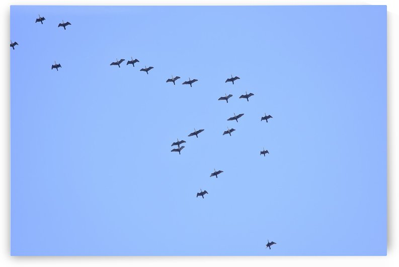 Flock of Geese 2 by Linda Brody