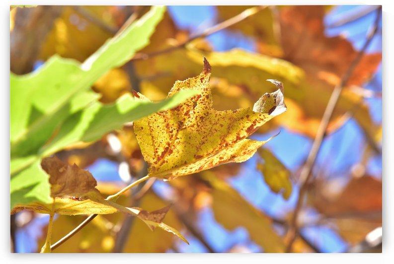 Autumn Leaves Macro 4  by Linda Brody