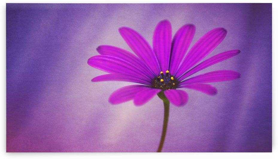Purple Osteospermum by James Rowland
