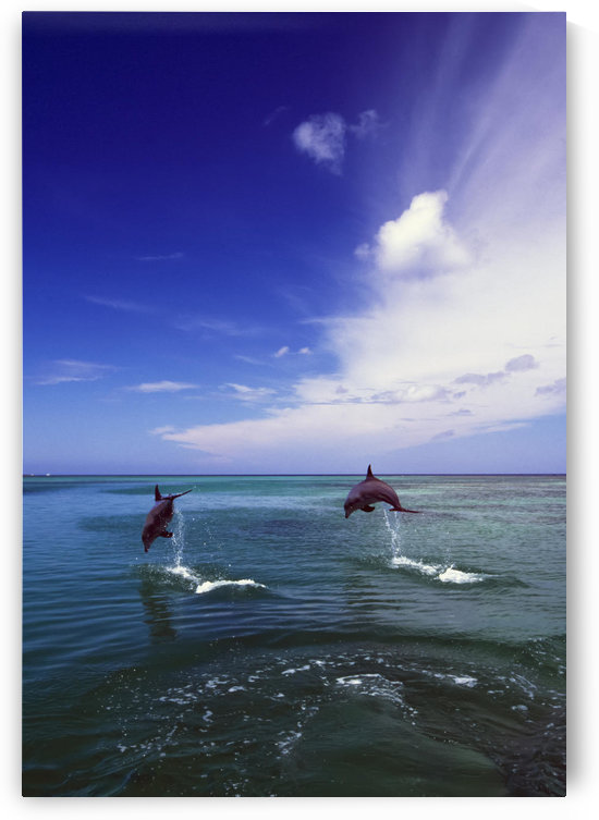 Two Bottlenose Dolphins Leaping Out Of Water, Caribbean Sea by PacificStock