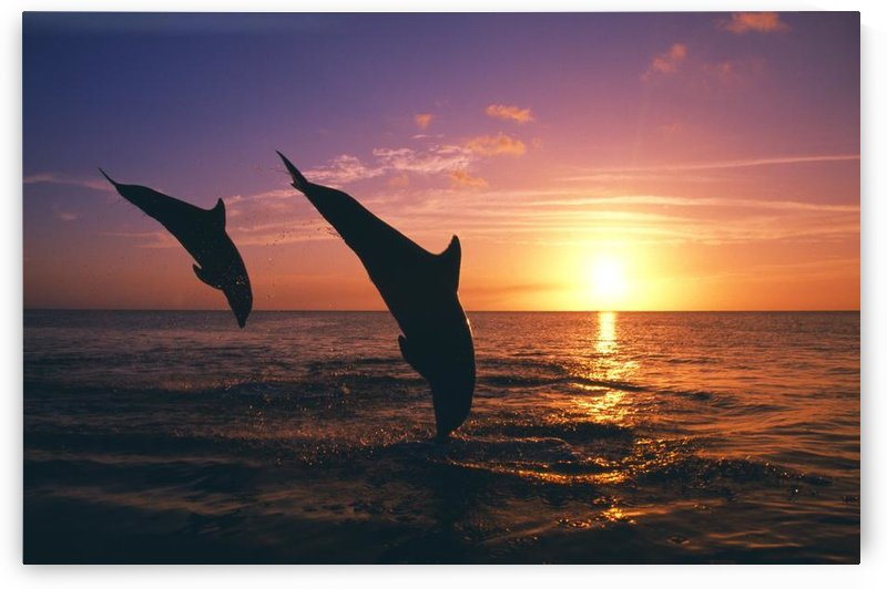 Silhouette Of Two Bottlenose Dolphins Diving, Sunset, Caribbean Sea by PacificStock