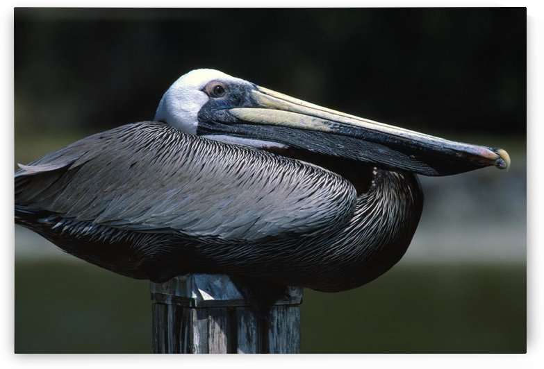 Profile Of Brown Pelican On Post. by PacificStock