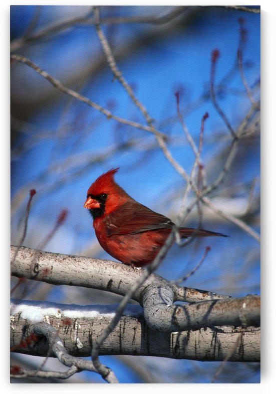 Male Northern Cardinal Bird by PacificStock