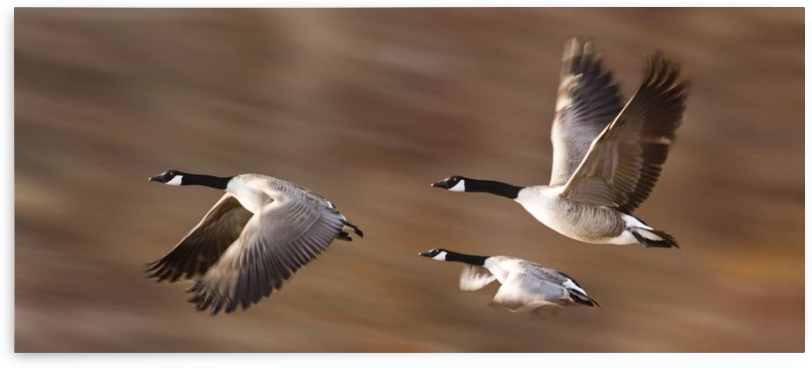 Canada Geese (Branta Canadensis) In Flight by PacificStock