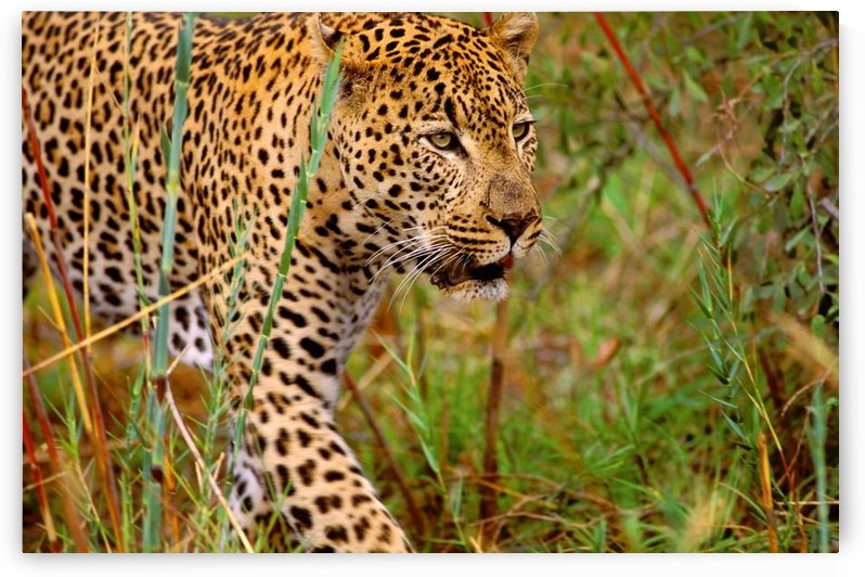Male Leopard by PacificStock