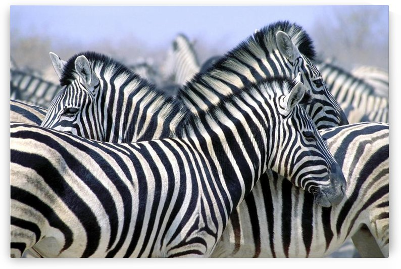 Burchell's Zebra (Equus Quagga Burchellii), Etosha National Park, Namibia, Africa by PacificStock