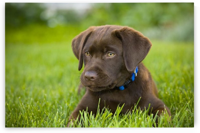 Labrador Retriever by PacificStock