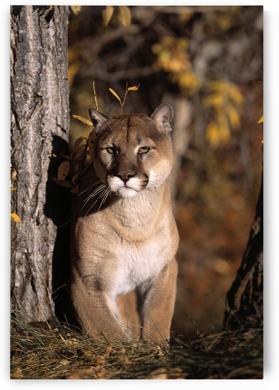 Mountain Lion by PacificStock