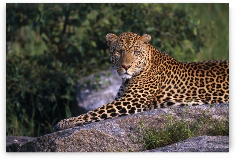 Leopard Laying On Kopje, Serengeti National Park by PacificStock