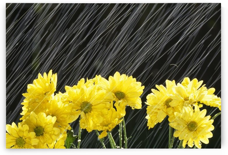 Raining On Yellow Daisies by PacificStock