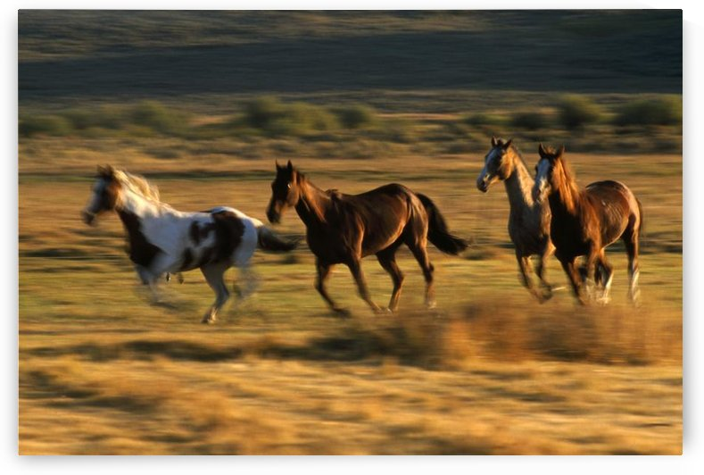 Wild Horses Running Together by PacificStock