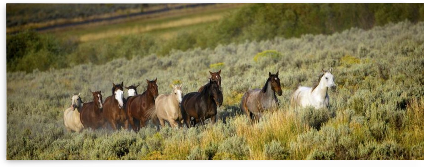 Wild Horses by PacificStock