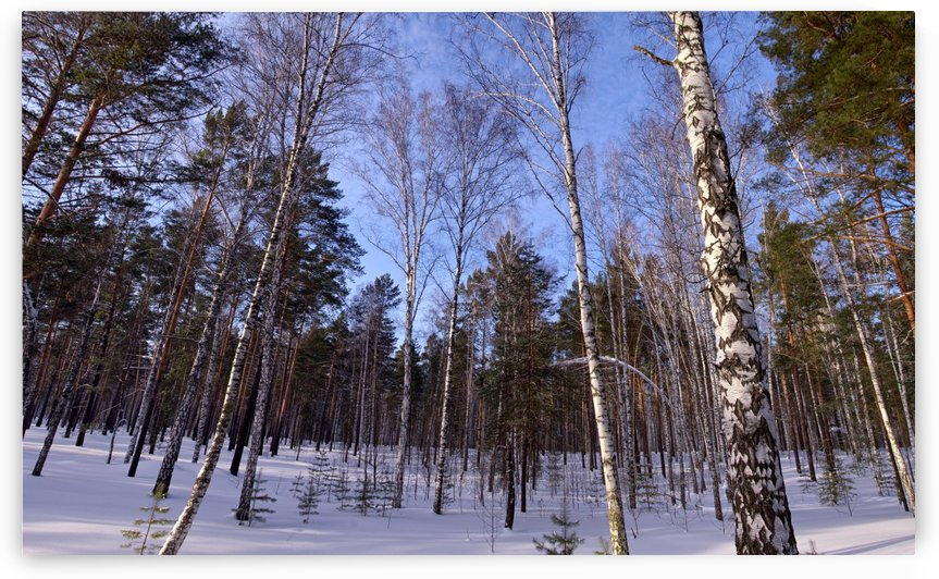Winter. Forest. Birch by MNWind