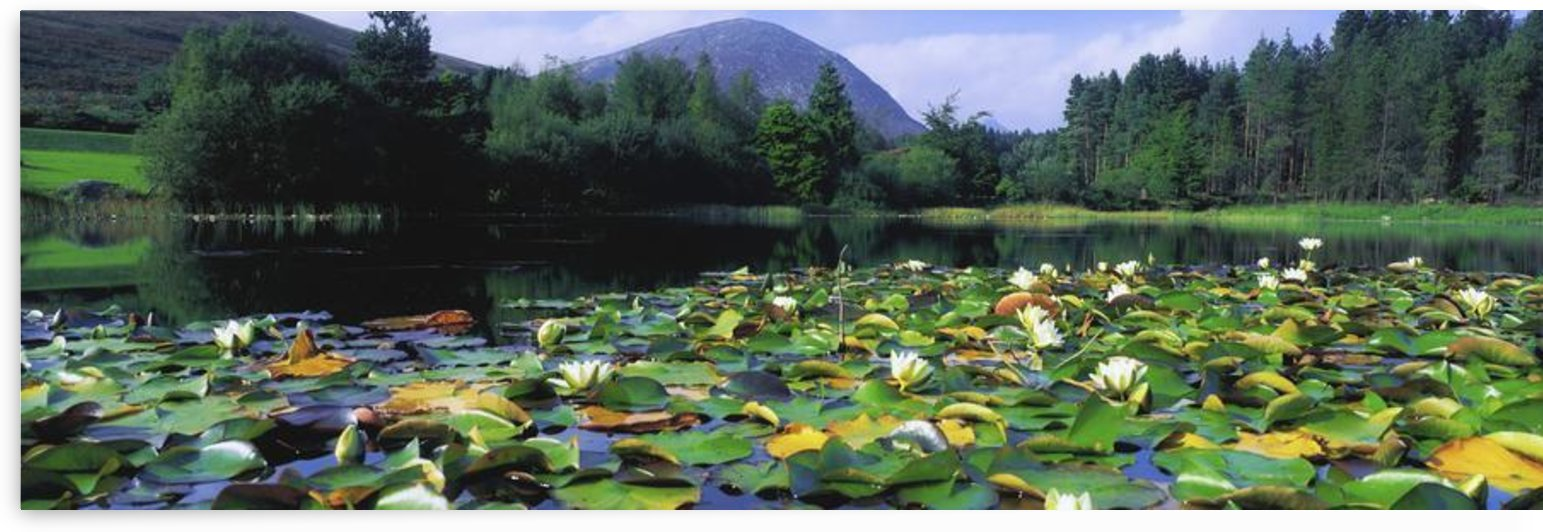 Silent Valley, Mourne Mountains, Ireland; Water Lilies With Mountain In The Background by PacificStock