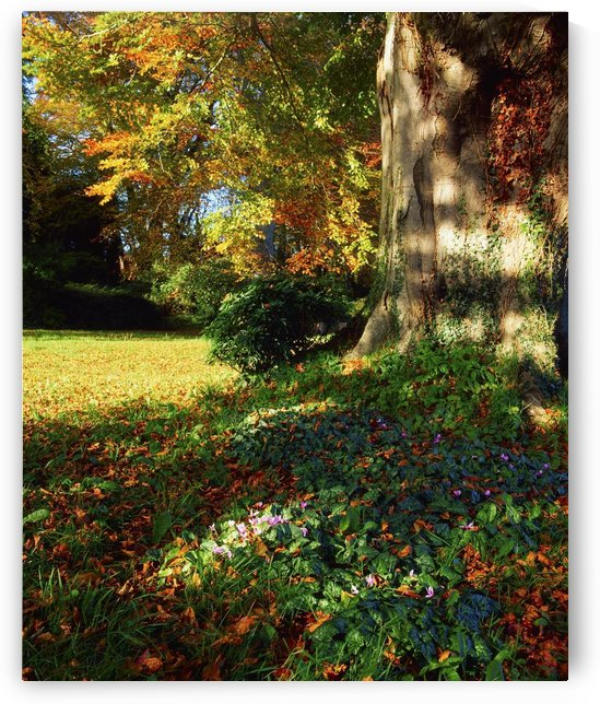 Fernhill Gardens, Co Dublin, Ireland; Cyclamen Under A Beech Tree by PacificStock