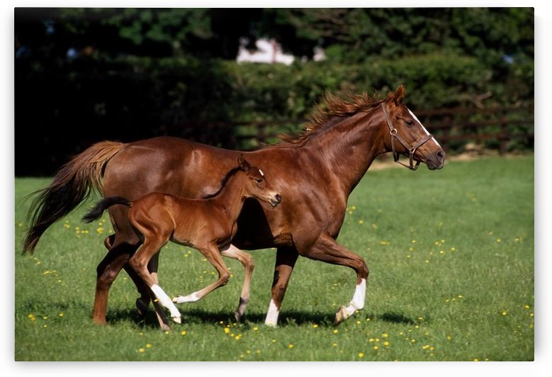 Thoroughbred Mare And Foal Galloping, Ireland by PacificStock