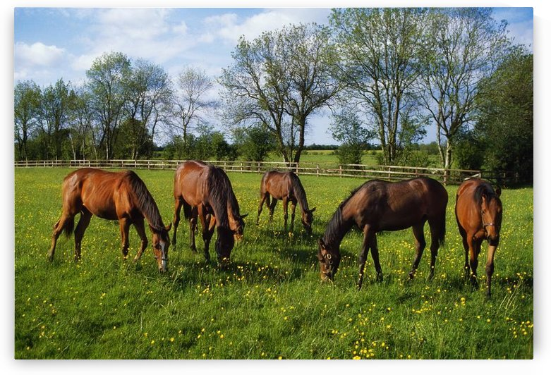 Thoroughbred Horses, Yearlings, Ireland by PacificStock