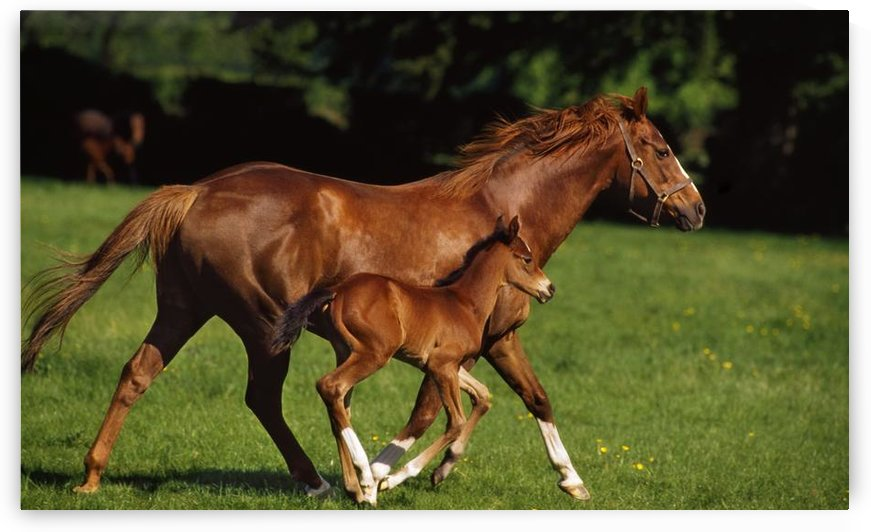 Thoroughbred Chestnut Mare & Foal, Ireland by PacificStock