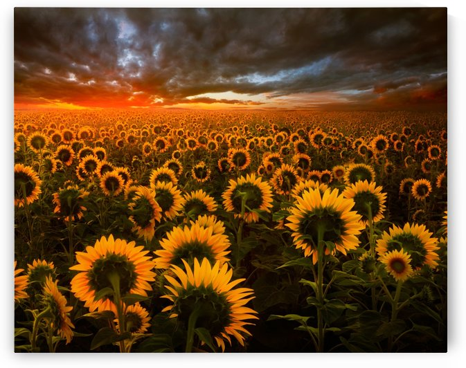 Sunflower Field by Adrian Borda