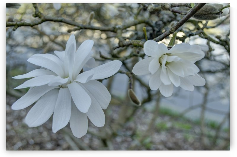Star Magnolia  by Naturally Scenic Images