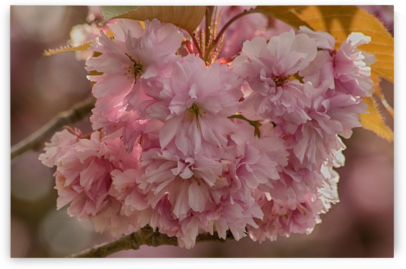 Apple Blossoms by Naturally Scenic Images