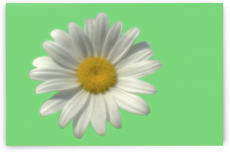 Soft bloom daisy by Naturally Scenic Images