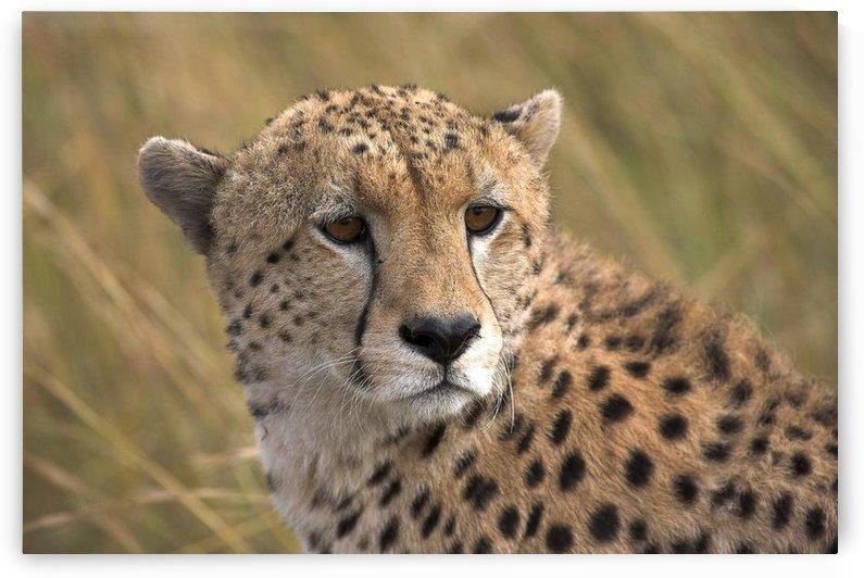 Cheetah Portrait, Masai Mara, Kenya, Africa by PacificStock